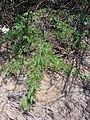 Starr 070404-6592 Prosopis juliflora.jpg