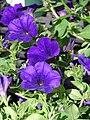 Starr 070906-8407 Petunia x hybrida.jpg