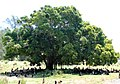 Starr 080531-4730 Ficus microcarpa.jpg