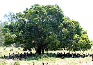 tree grown specifically for its shade
