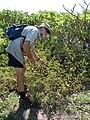 Starr 080603-5681 Solanum nelsonii.jpg