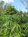 Starr 080610-8394 Cyperus involucratus.jpg