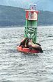 Steller Sea Lion11(js).jpg