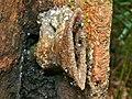 Stingless Bees (Tetrigona binghami) (6707511783).jpg