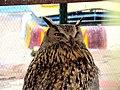 Strigiformes- Owl - جغد، پرنده شکاری 05.jpg