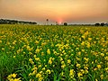 Sunset over mustard field.jpg