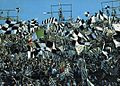 Supporters of Juventus FC - Stadio Comunale, Turin (circa 1973).jpg