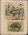 Sus babirussa - 1700-1880 - Print - Iconographia Zoologica - Special Collections University of Amsterdam - UBA01 IZ21900191.tif
