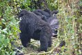 Susa group, mountain gorillas - Flickr - Dave Proffer (6).jpg
