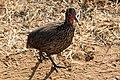 Swainson's spurfowl, Kruger National Park, South Africa (14982106752).jpg
