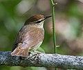 Swainsons warbler (11800770306).jpg