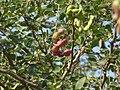 Sweet Tamarind (2335273678).jpg