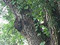 Swietenia mahagoni (1126717302).jpg