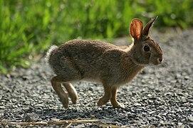 Jeune lapin beige bondissant, à longues oreilles translucides, yeux noirs et queue claire