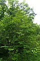 Syringa reticulata subsp. amurensis kz01.jpg