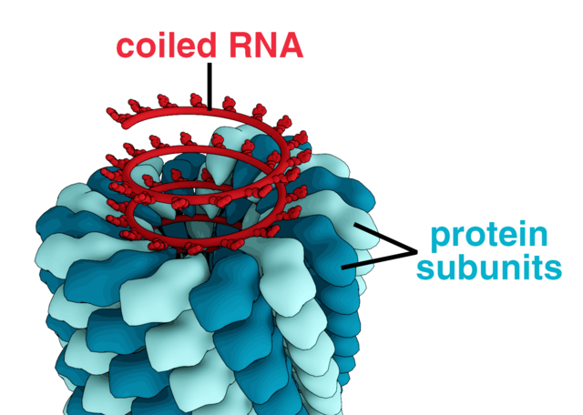 Tobaksmosaikviruset, ett växtvirus som angriper tobaksplantan, består endast av en DNA-molekyl täckt av protein.