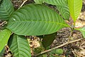 Tabernaemontana alternifolia 02.JPG