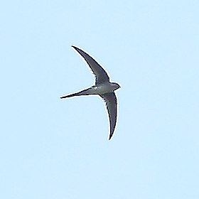 Tachornis squamata - Fork-tailed Palm-Swift.JPG