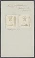 Taenia perfoliata - - Print - Iconographia Zoologica - Special Collections University of Amsterdam - UBAINV0274 105 19 0027.tif
