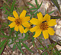 Tagetes lemmonii, the Mountain Marigold (9468457037).jpg
