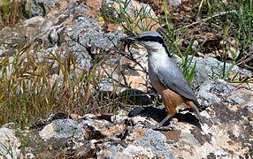 L'esguilador rupestre occidental ye 13.5 cm de llargu, llixeramente más pequeñu que Sitta europaea.