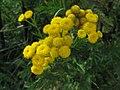Tanacetum vulgare, 2020-10-04, Beechview, 01.jpg