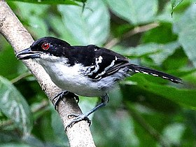 Taraba major-Great Antshrike (Male).JPG