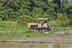 Taun-Gusi-2 Sabah Ploughing-the-rice-paddies-02.jpg