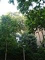 Tell argentat del passeig de la Bonanova P1510527.jpg