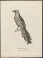 Temnurus truncatus - 1700-1880 - Print - Iconographia Zoologica - Special Collections University of Amsterdam - UBA01 IZ15700075.tif