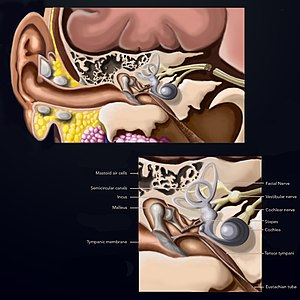 Temporal bone - The Hungry Artist Multimedia.jpg