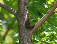 A group of tent caterpillars climbing a tree to eat & Tent caterpillar - Wikipedia