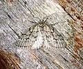 Tephronia cremiaria (27997665350).jpg