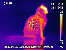 Chat domestique en Thermographie infrarouge.