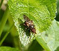 Testacea-group - possibly Myopa pellucida (33587484730).jpg