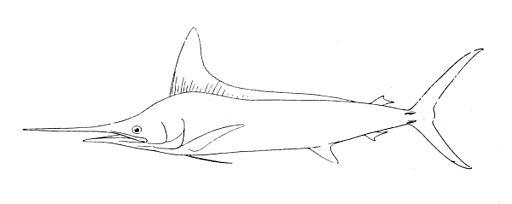 Tetrapturus audax
