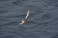 Thalassoica antarctica - flying in snowfall.jpg