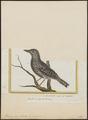 Thamnophilus doliatus - 1700-1880 - Print - Iconographia Zoologica - Special Collections University of Amsterdam - UBA01 IZ16400381.tif