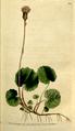 The Botanical Magazine, Plate 84 (Volume 3, 1790).png