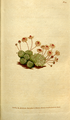 The Botanical Magazine, Plate 93 (Volume 3, 1790).png