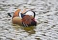 The Mandarin Duck of St. Ferdinand Park (30827727787).jpg
