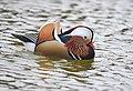 The Mandarin Duck of St. Ferdinand Park (45717513702).jpg