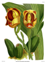 The Orchid Album-01-0059-0019-Anguloa ruckerii sanguinea.png