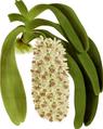 The Orchid Album-02-0027-0056-Saccolabium giganteum-crop.png