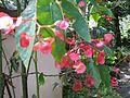 Thekkady, bamboo cane begonia, Abrahams Spice Garden (2267498476).jpg