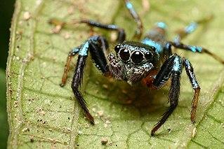<i>Thiania</i> Genus of spiders