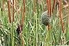 Thick-billed weaver in Zulu Nyala Reserve 02.jpg
