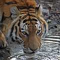 Thirsty tiger (7024456411).jpg