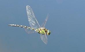 Blaugrüne Mosaikjungfer (Aeshna cyanea), Männchen im Flug
