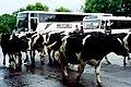 Thoor Ballylee - Cattle herd passing tour buses - geograph.org.uk - 1612844.jpg